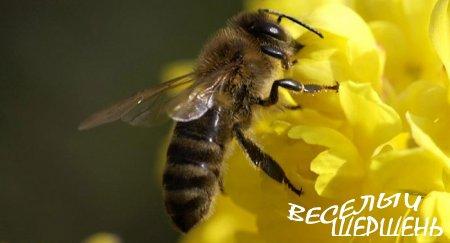 Как пчела колдует над медом?