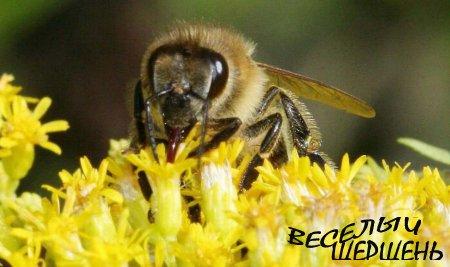 Как пчелы перерабатывают нектар?