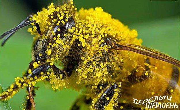 Знакомьтесь: пчелиная пыльца