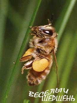 Состав пчелиной пыльцы