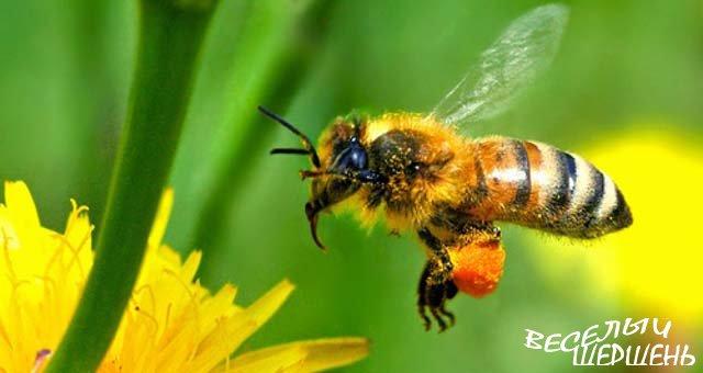 Полезные и лечебные свойства пчелиной пыльцы