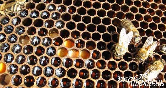 Пчелиная перга - как принимать, что лечит и противопоказания