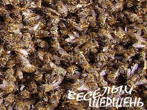 Применение подмора пчел