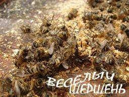 Противопоказания к настойке пчелиного подмора