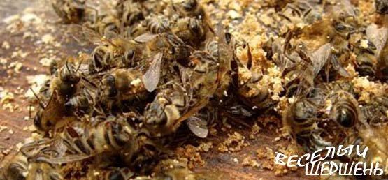Пчелиный подмор — сила жизни