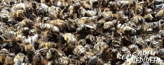 Целебные свойства пчелиного подмора