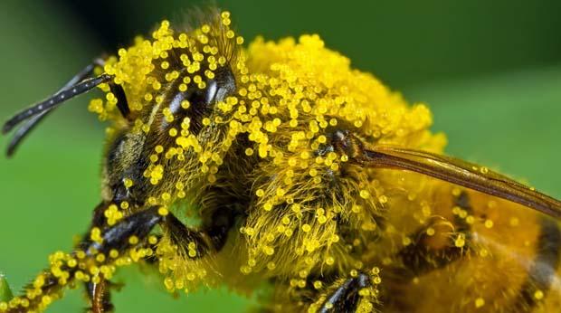 пчелиная пыльца лечение