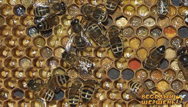 перга пчелиная для мужчин