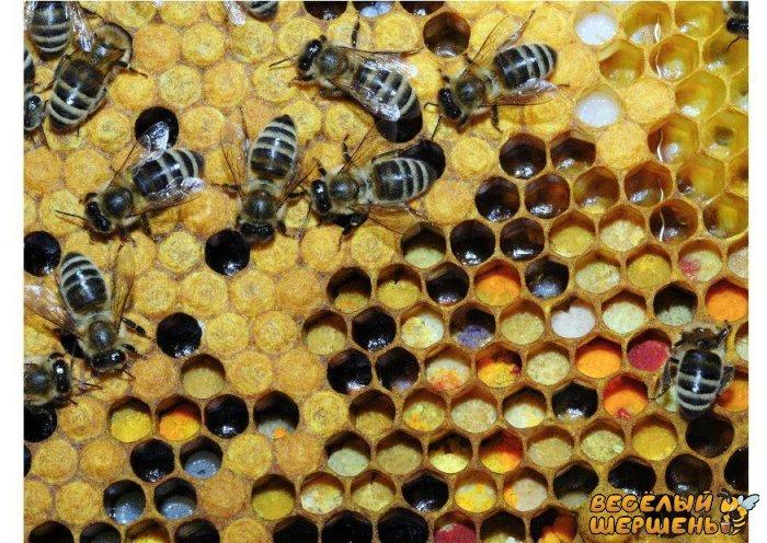 Важные тонкости правильного применения пчелиной перги