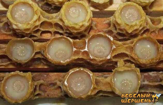 пчелиное маточное молочко в гранулах