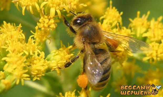 Квітковий пилок чи бджолиний? Що вибрати?