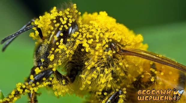 заготовление пыльцы